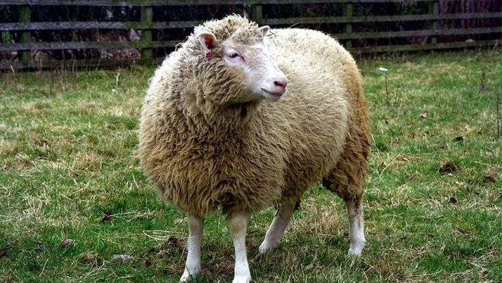 Dolly the Sheep made biotech history in 1996 when she became the first animal cloned from adult somatic cells. She lived to the age of seven, which is young for sheep, leading scientists to speculate that her premature death had something to do with her being a clone. New research now shows this wasn't the case.