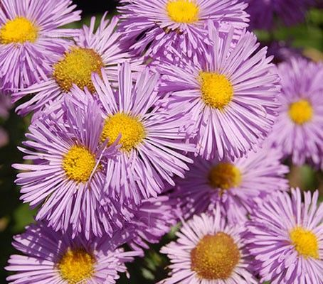 "Erigeron ""Pink Jewel"" is a traditional border favourite, low maintenance, reliable and long lived."