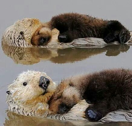 This is how baby otters sleep.