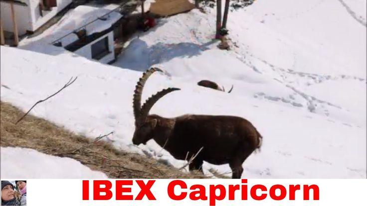 Capricorn alpin ibex live