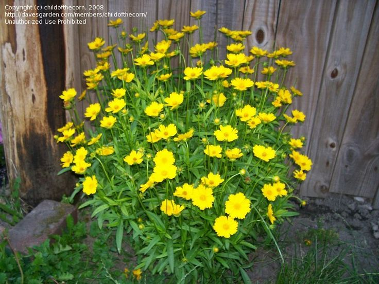 Lanceleaf Coreopsis - nectar source for Cabbage White, Spring Azure, Monarch
