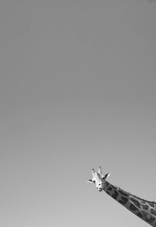A Giraffe taken from bus window at an African Lion Safari. Image by Jason Bouwman. °