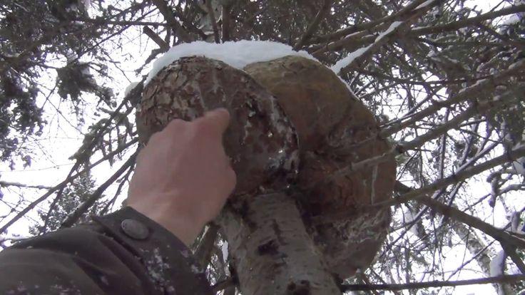 Поход в зимнюю тайгу за можжевельником и кедровой смолой