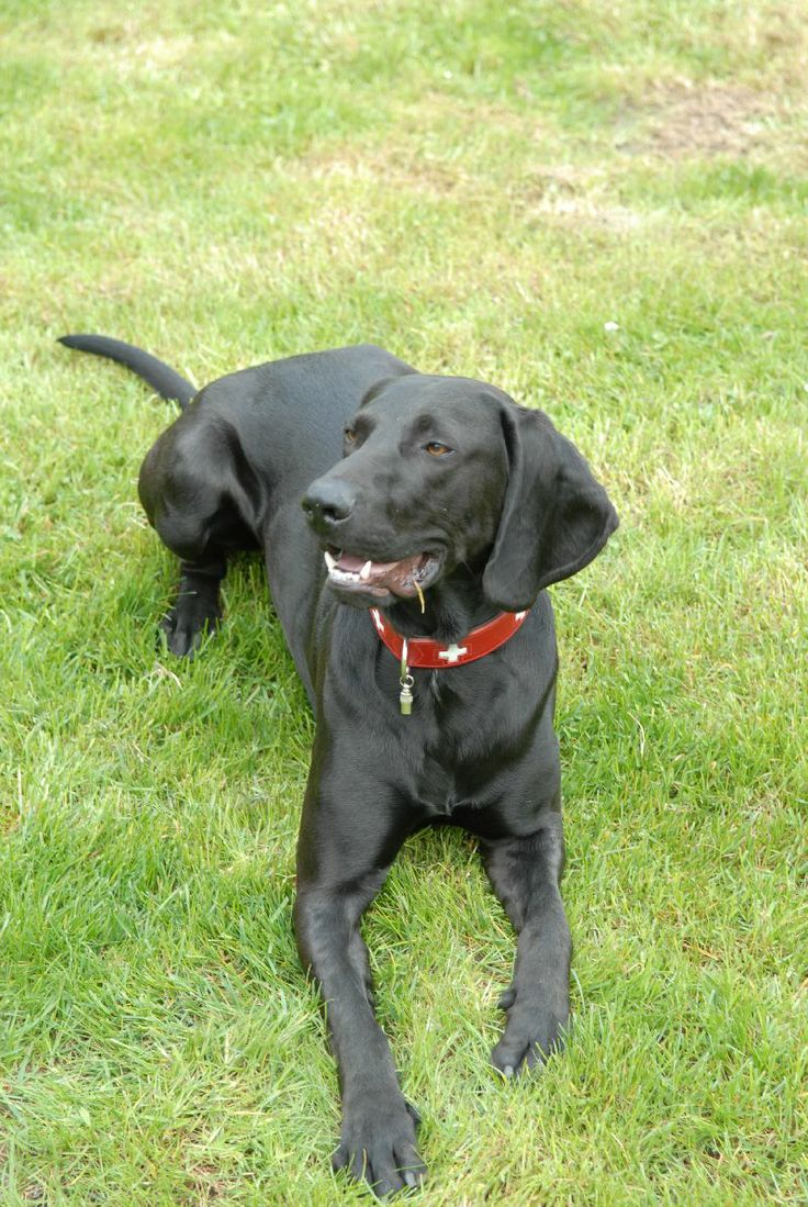 Plott Hound | Plott dog breed infromation, pictures, recognition etc.