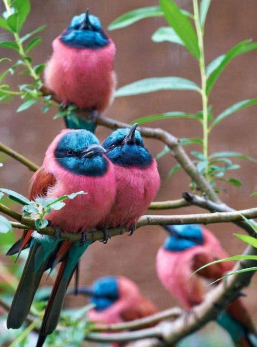 Colorful birds - Flock of Carmine Bee-eaters (Merops nubicus)