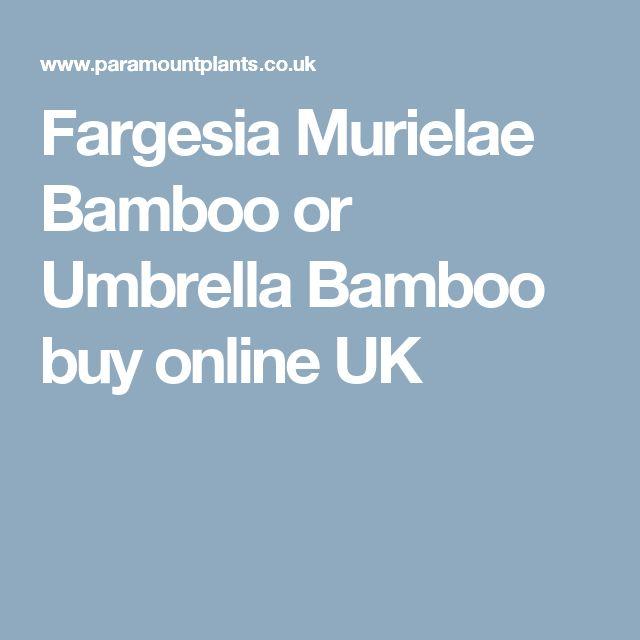 Fargesia Murielae Bamboo or Umbrella Bamboo buy online UK