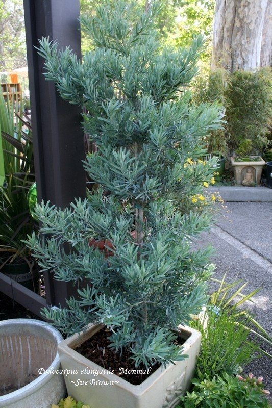 Podocarpus 'Icee Blue'.  Either for a pot or could be a screening plant in the raised planters.