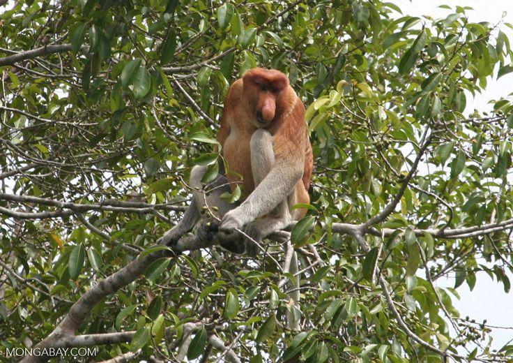 Adult male Proboscis monkey (Kalimantan, Borneo – Indonesian Borneo)