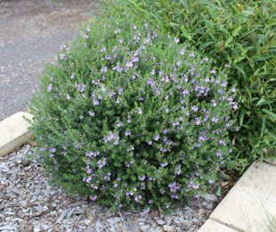 Westringea Blue Gem is one of the best flowering Westringea (Coastal rosemary) varieties, with bright blue flowers contrasting with silvery grey-green foliage. It responds well to pruning and shaping, and makes a good low native hedge or border. Suitable for coastal gardens. Westringea Blue Gem is low maintenance and hardy. Flowers in mass during Spring and in patches throughout the year.