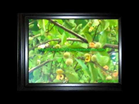 Bibit gaharu | Agarwood aquilaria malaccensis Makasar 081251826868