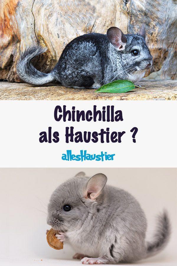 Chinchilla Als Haustier Haustiere Chinchilla Haustier Chinchilla