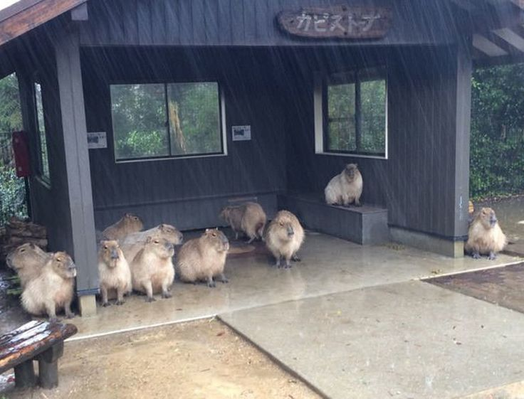 Capybaras taking shelter in the rain will make your day