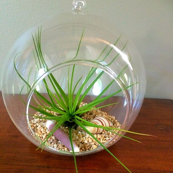 Large Hanging Glass Garden with Tricolor v Melancrator #airplants #hanginggarden #airplantdesigns