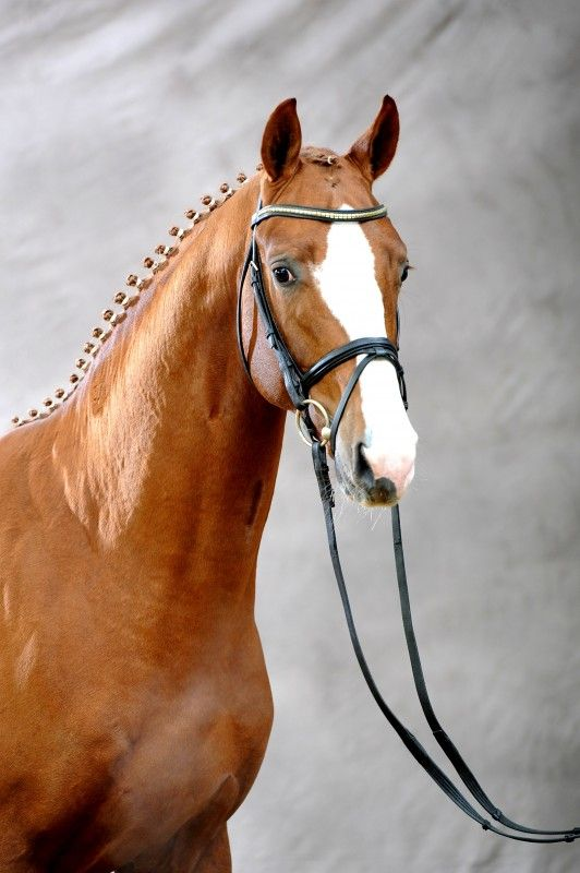 MY DREAM HORSE: Bailarino, Oldenburg stallion. The Oldenburg is a warmblood horse from the north-western corner of Lower Saxony, what was formerly the Grand Duchy of Oldenburg. The breed was built on a mare base of all-purpose farm and carriage horses. Oldenburgers are tall sport horses with excellent gaits and jumping ability.