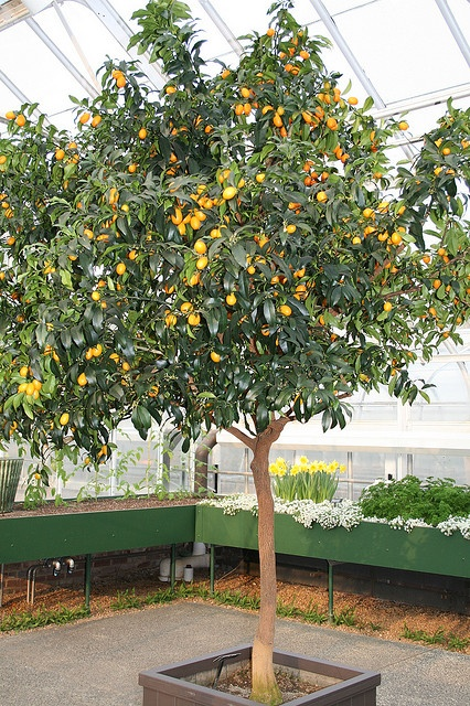 Mature Kumquat tree, a sturdy, short citrus tree that is perfect for greenhouses.  Delicious fruit, hard to find in supermarkets, too!