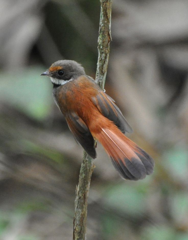 Juvenile North Island Fantail