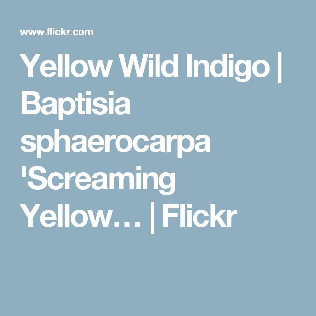 Yellow Wild Indigo | Baptisia sphaerocarpa 'Screaming Yellow… | Flickr