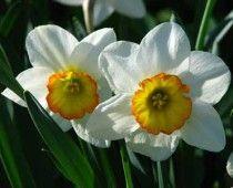 Νάρκισσος – Narcissus excertus