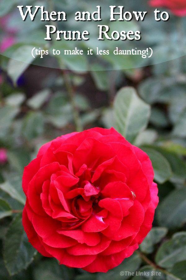 Pruning Roses Trim Rose Bushes Pruning Roses Blooming Rose