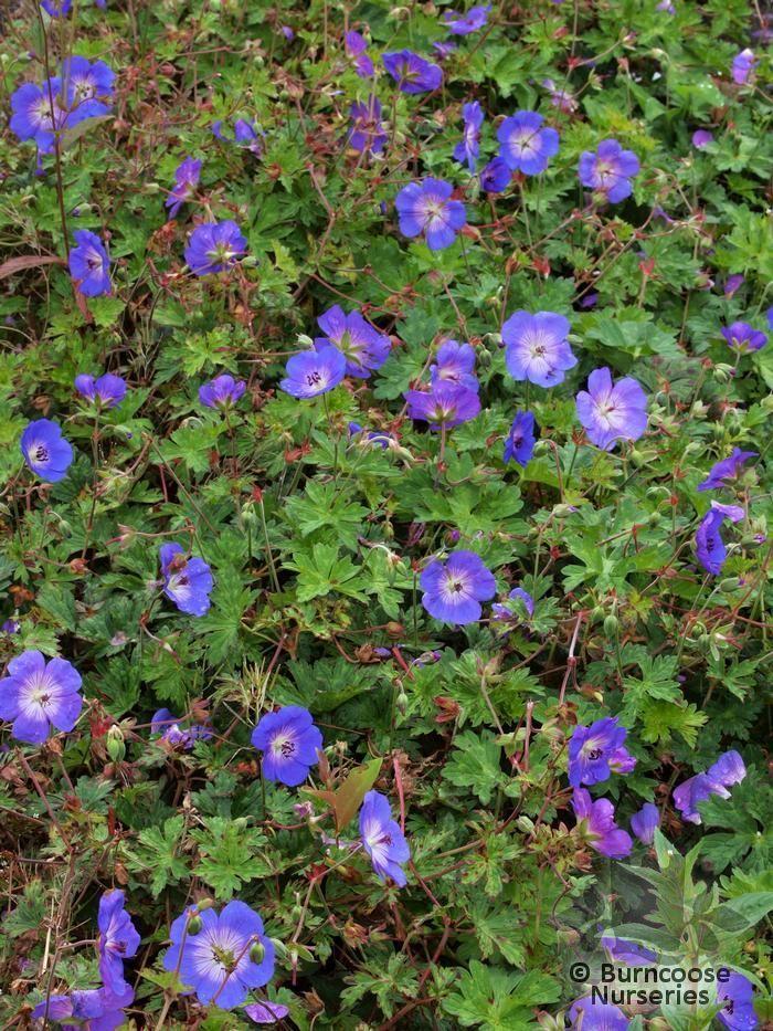 Geranium Rozanne Purple Petals Flowers Pinterest