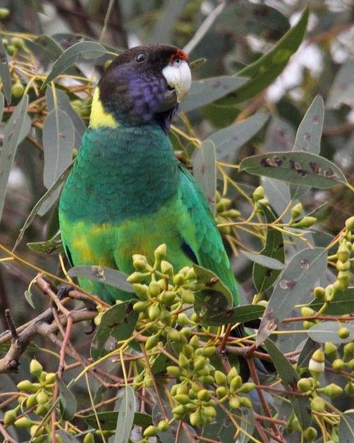 Twenty-eight parrot in the suburbs of Perth