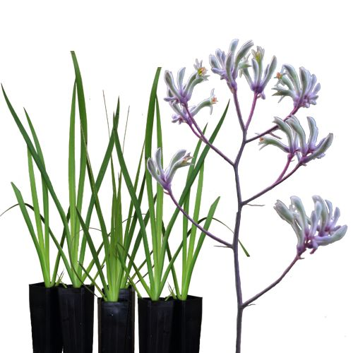 38 best strappy plants images on pinterest garden plants coastal image result for lilac kangaroo paws thecheapjerseys Image collections