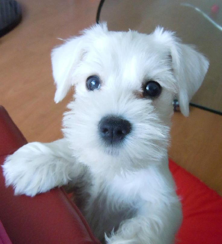 Images For > Schnauzer Miniatura Branco