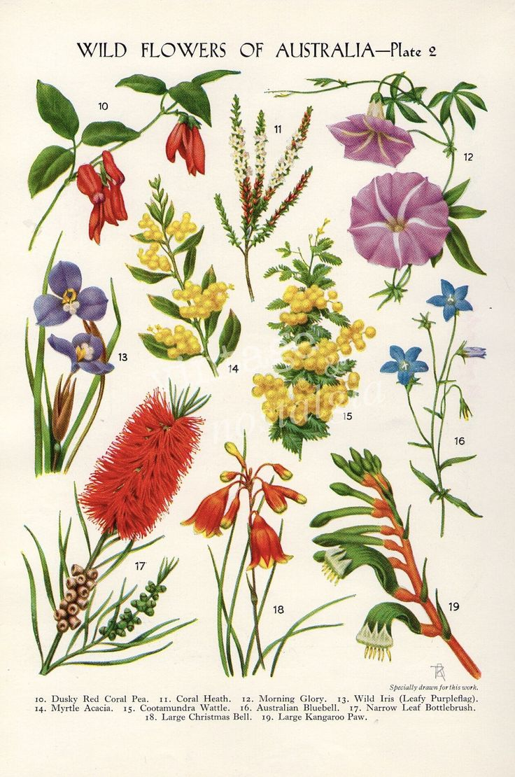 vintage Botanical flower print Australian Wild Flowers Wattle Bottlebrush Kangaroo Paw flower art illustration