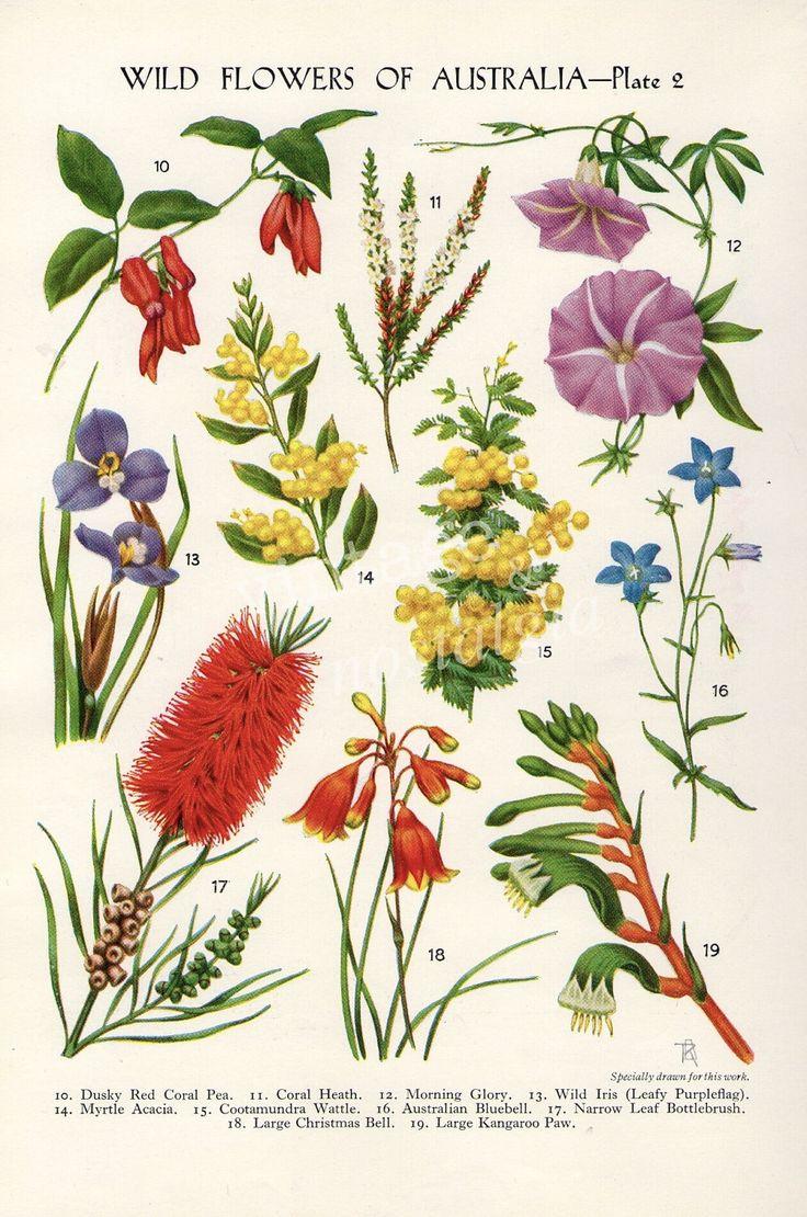 vintage Botanical flower print Australian Wild Flowers Wattle Bottlebrush Kangaroo Paw flower art illustration