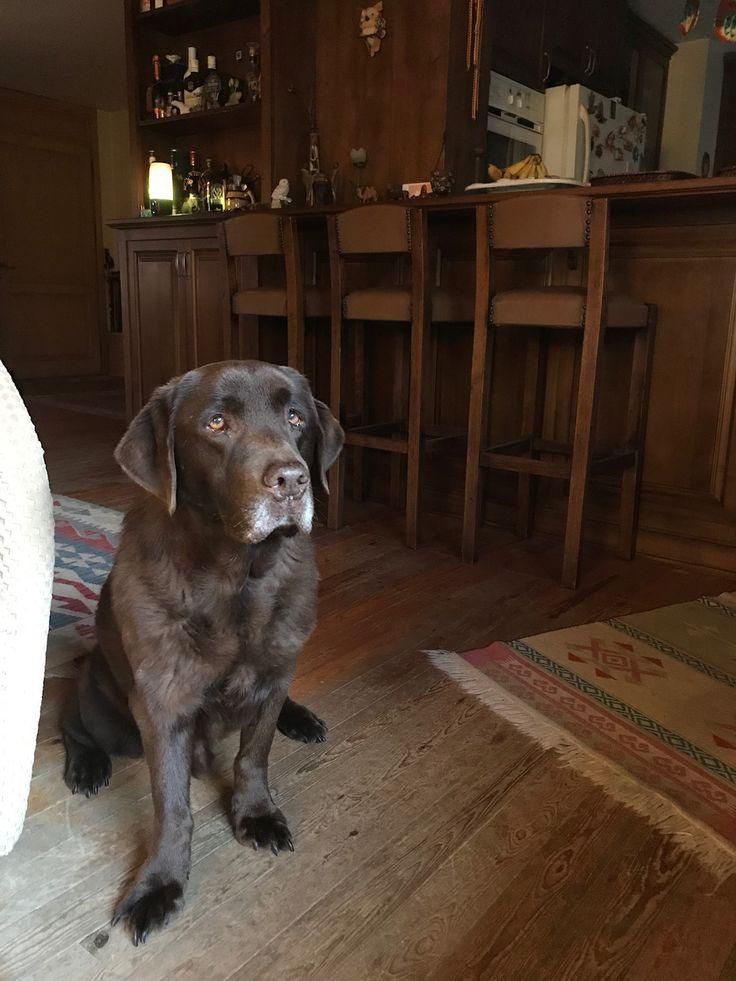 Gorgeous Chocolate Labrador