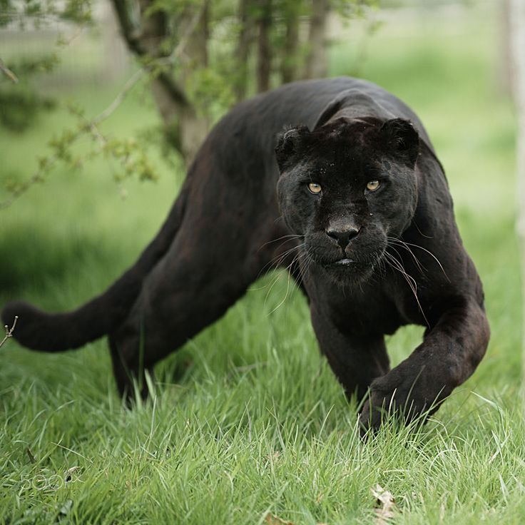 Black Jaguar by Colin Langford on 500px