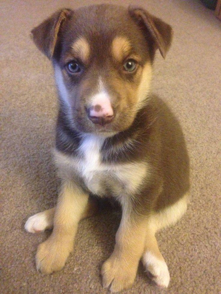 German Shepherd/Husky mix. Never underestimate the power of a cute puppy.