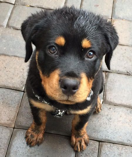 Rottweiler Dog Names That Start With D