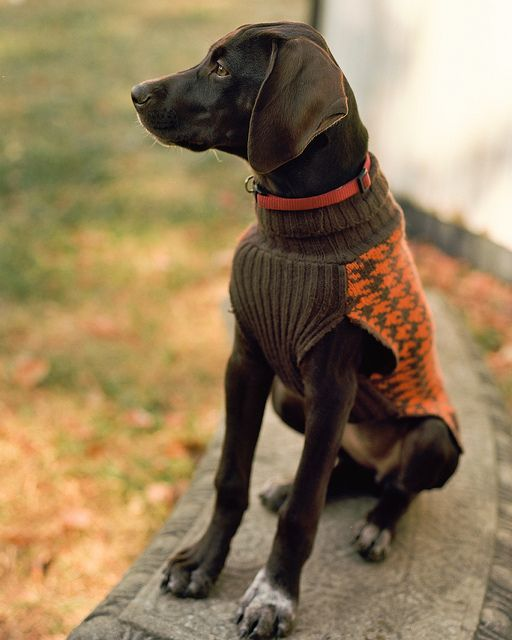 GSP sweater German Shorthaired Pointer Puppy Dogs Dogs In Clothes #DogsInClothes