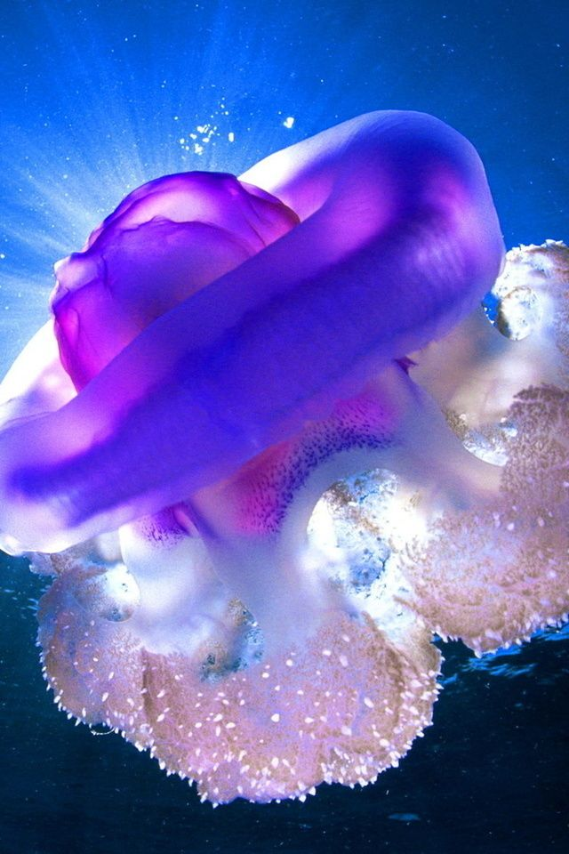Splendid Jellyfish