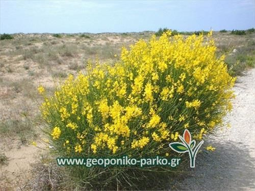 Ανθοφόροι θάμνοι : Σπάρτο φυτό - Spartium jungceum