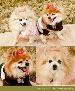"My beautiful fiance's new blog... PommyMommy.com ""where mommies of the Pomeranian Breed can gather and socialize""  @Maggie Evans @Peggy Evans"
