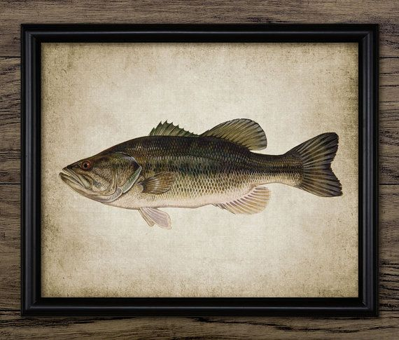Largemouth Bass Print  Largemouth Bass Poster  by InstantGraphics