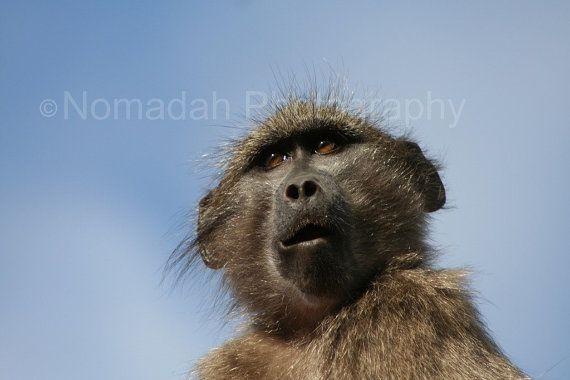 Baboon profile.