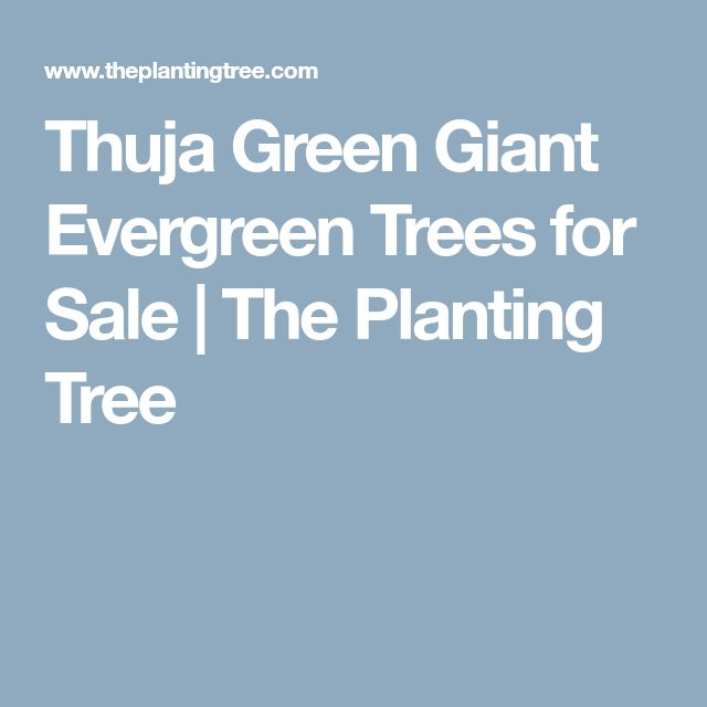 Thuja Green Giant Evergreen Trees for Sale   The Planting Tree
