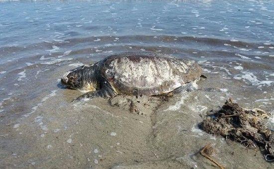http://www.unionesarda.it/articolo/cronaca/2017/06/01/una_tartaruga_gigante_nella_spiaggia_di_giorgino-68-607595.html