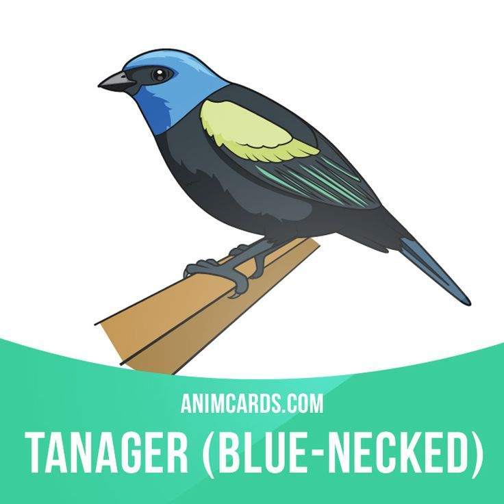 Blue-necked Tanager has a broad but discontinuous range. It is common and widely distributed in foothill and lower montane forests in the Andes from western Venezuela south to central Bolivia. Learning English can be fun! Visit our website: learzing.com #english #englishlanguage #learnenglish #studyenglish #language #vocabulary #dictionary #englishlearning #vocab #animals #blueneckedtanager #tanager #bird #birds