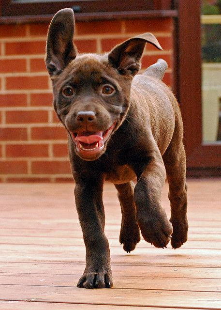 Chocolate labrador puppy in a rush    Like, Repin, Follow :)