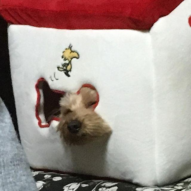 おやおや、こんな所で寝ちゃったのね💤  可愛らしい寝顔、お休みなさい💤  #我が家の愛犬 #娘家族の愛犬 #我が家で生まれた犬 #愛犬 #可愛らしい寝顔 #お休みなさい #寝顔 #ダップー #ミニチュアダックスフンドとトイプードルの子供 #一家団欒 #帰省  2017年1月9日