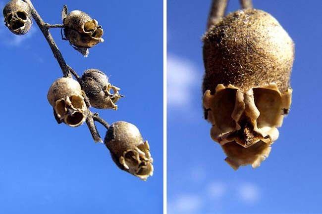 """Semi di Antirrhinum (in italiano questo fiore è noto come """"Bocca di leone"""", ma i suoi semi ricordano dei teschi"""