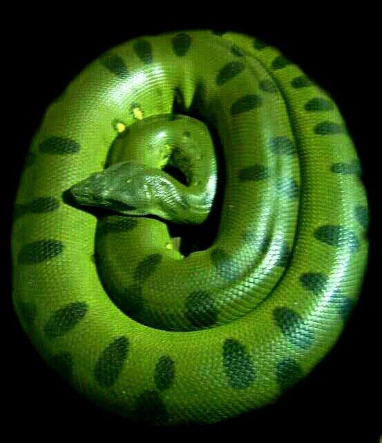Giant green anaconda