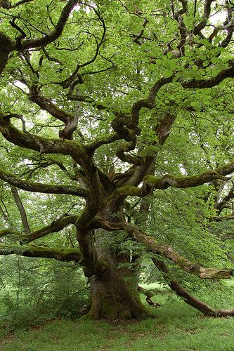 Old oak tree Oaks were sacred to the Druids. Why? Obvious?