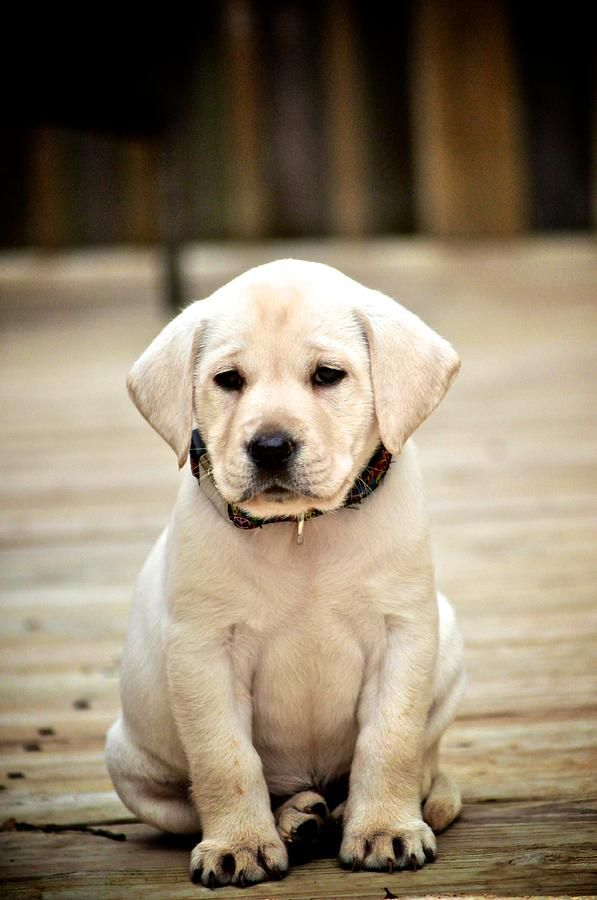 There are no words......Labrador Retriever Photograph - Blond Lab Pup by Kristina Deane