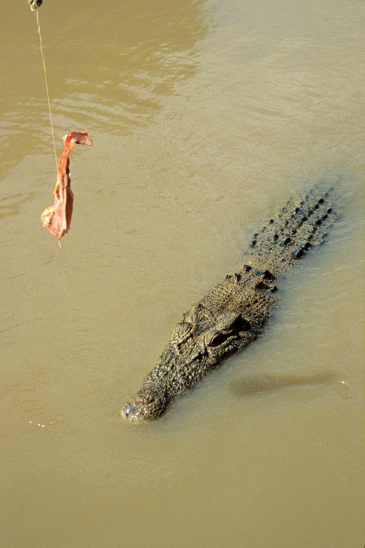 Kakadu Park, Salt Water Crocodile