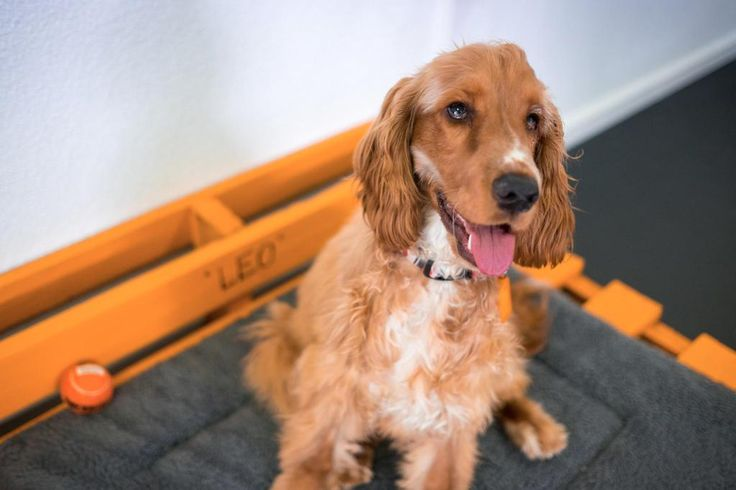 Meet our Manager of Employee Wellbeing, Leo - Cocker Spaniel